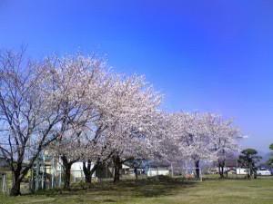 病院のグランドの桜