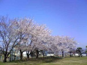 桜前線 病院の庭に2