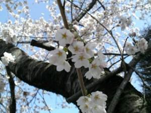 桜前線 病院の庭に3