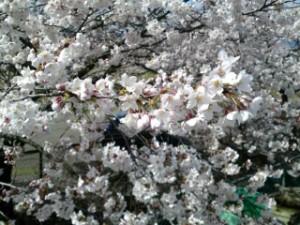 桜前線 病院の庭に4