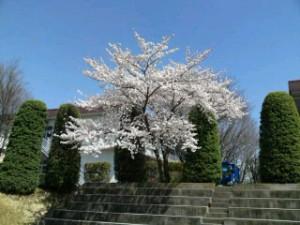桜前線 病院の庭に5