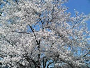 桜前線 病院の庭に6