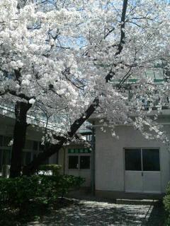 千曲荘の桜