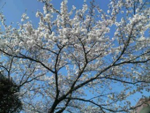 千曲荘グランドの桜2
