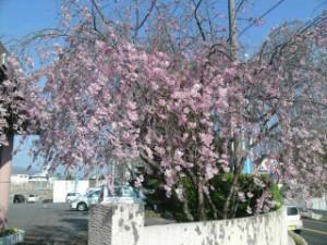 千曲荘病院の玄関の桜
