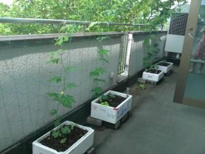 エコ緑のカーテン3