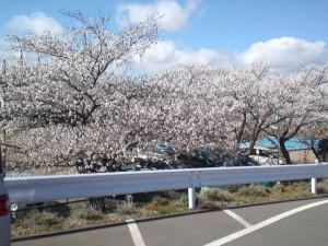 2013年の桜1