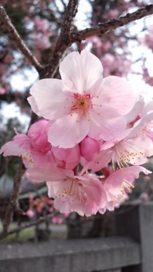 2013年の桜2