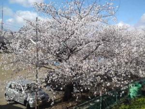 2013年の桜3