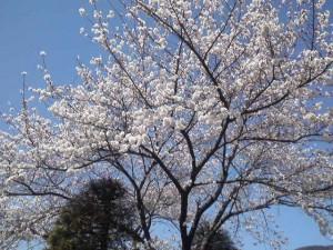2013年の桜4