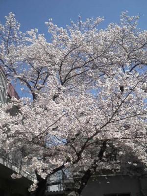 2013年の桜5
