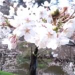 2013年の桜6