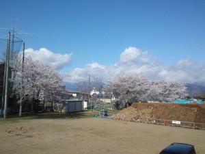 2013年の桜7