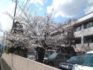 2013年の桜8