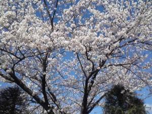 2013年の桜9